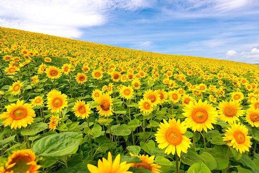 kebun-bunga-matahari-hokkaido-9